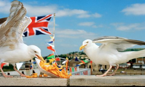 Seagulls eating chips
